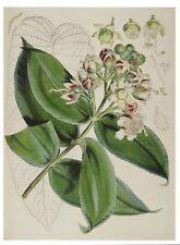Postcard Walter H Fitch Himalayan Botanical Drawing Duabanga Grandiflora MINT