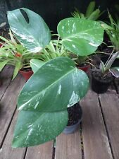 PHILODENDRON MONSTERA VARIEGATA - 30cm Tall Plant showing good color, one only!