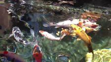 Clearkoi MINERALE NATURALE STAGNO Balsamo WOW colore chiaro le alghe della salute Koi 200 G