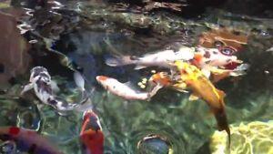 ClearKOI Natural Mineral Pond Conditioner COLOUR Algae Remover KOI HEALTH 4.5kg