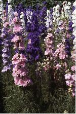 Flower - Larkspur - Giant Hyacinth Mixed - 500 Seeds