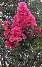 3 LIVE PLANTS CREPE MYRTLE TREES DARK PINK FLOWERING ROOTED CUTTINGS CRAPE BUSH