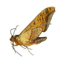 Unmounted Butterfly/Sphingidae - Adhemarius tigrina tigrina, male, Bolivia