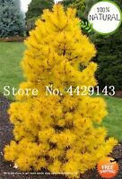 Blue Yellow Spruce Seeds Plants Tree Evergreen Picea Pungens Glauca Rare 50pcs