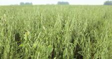 500 Graines d'Avoine Cultivée Bio,  Avena sativa Organic Oat Seeds