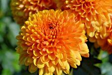 Chrysanthemum Bright Eyes plug plants x 5 {good for cut flowers}
