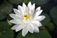 Weiße Seerose Teichpflanzen wasserreinigend winterhart immergrüne Wasserpflanzen