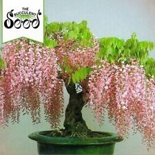 Chinese White Wisteria - Wisteria sinensis 'White' (8 Bonsai Seeds)