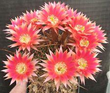 SUPER: Echinopsis Lobivia Hybride Frozen Sunset