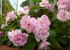 Impatiens Double Flower非洲凤仙花 (FREE POSTAGE)~~1 FLOWERING plant