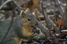 Fox Squirrel Taxidermy Reference Photo Cd