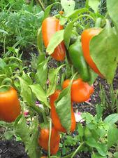 Merendine-MINI-Paprika ancorafastidio dolci piccoli Paprika Orange -15 semi