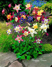COLUMBINE  McKana mixture  - 300 Seeds - Aquilegia coerulea