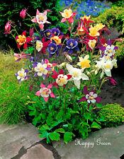 COLUMBINE - McKana mixed - 650 Seeds - Aquilegia coerulea - Perennial Flower