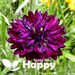 CORNFLOWER - BLACK BALL - 500 SEEDS - CENTAUREA CYANUS - Meadow annual flower