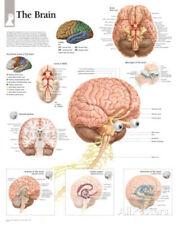 The Human Brain Educational Chart Poster Poster Print, 22x28