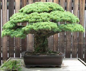 Bonsai i! die HIMALAYA-KIEFER !i winterharte frostharte Garten-Pflanzen Saatgut