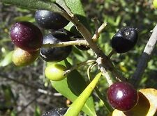 20 OLIVE TREE (Olea Europaea ) Seeds-GREAT FOR HOME GARDEN