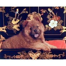 CHOW CHOW DOG - 50 x 40 CM - MINI CUTE ANIMAL POSTER