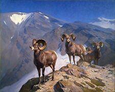 "Carl Rungius, BIG HORN SHEEP, Rams, Wildlife, antique wall decor, 20""x16"" ART"