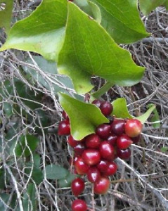 Sarsaparilla Smilax Aspera 500 Seeds Semi Seeds