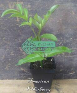 American Elderberry - Sambucus canadensis - Live Plant- Immune support, Berries