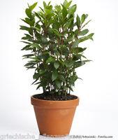 🔥🌿 echter Gewürz - Lorbeer * 5 Samen * Laurus nobilis Kräuter