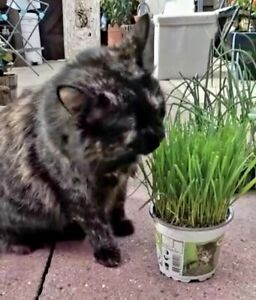 Kitty Cat Grass Live Plants 12cm Pots - Growing Plants NOT SEEDS Indoor Fast