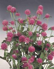 GOMPHRENA SEEDS - Woodcreek Rose - Annual - Globe Amaranth - 50 Seeds