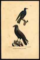 Antique Print-RED BILLED CHOUGH-BLACK CROW-PLATE 29-Buffon-Lejeune-1828