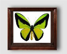 Ornithoptera goliath procus male in big frame made of expensive wood