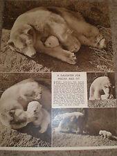 Photo article polar bear cub Brumas at London Zoo 1950 ref K