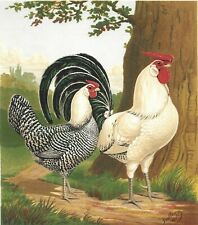 Chickens Rooster Print Cassell Poultry Original Antique Chromolithograph c1886