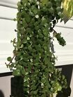 Jade Cascade Plant CUTTINGS 3x (4 Inches Each) aka Fortune Lucky Plant or Money