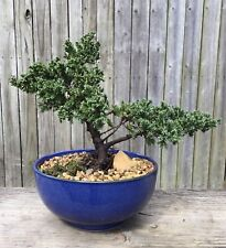 Japanese juniper Bonsai Tree in blue inch round pot.
