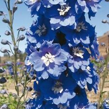 25+ MAGIC FOUNTAINS MID BLUE W/ WHITE BEE DELPHINIUM  FLOWER SEEDS  / PERENNIAL