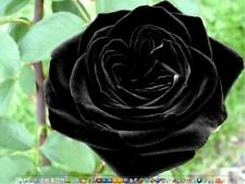 20+ TURKISH BLACK Rose Bush Seeds ,, Beautiful ,, USA SELLER  SHIPS FREE