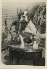 PHOTO ANCIENNE - VINTAGE SNAPSHOT - ANIMAL CHIEN BOULEDOGUE TABLE DRÔLE - DOG