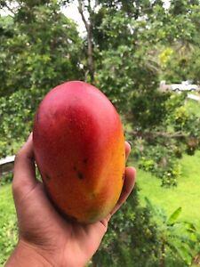 "Mango Haden (mangifera) Tropical Fruit Tree 12""-24"""