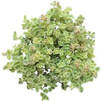 Sedum Little Missy Succulent (2'' or 4'' or 6'')