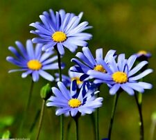 SWAN RIVER DAISY Brachyscome Blue Purple White Daisy Groundcover Flower 100 Seed