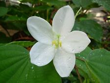 Bauhinia acuminata WHITE ORCHID TREE Exotic SEEDS!