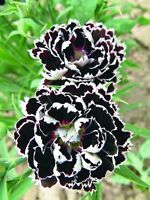 Clove Flowers Seeds Dianthu Chianti from Ukraine
