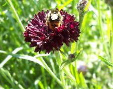 Flower Seeds Cornflower Double Ball Black For Bee Bed Garden Pictorial Packet UK