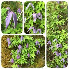 Waldrebe Clematis vitalba Alpenrebe Urform der Gartenzierpflanze