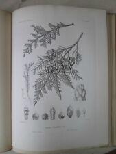 Vintage Print,Pl 533, RED CEDAR,CANOE CEDAR, .Silva,Trees,1st Ed.c1900