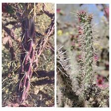 Cholla Cactus Cuttings Staghorn Purple Cylindropuntia versicolor Cane spinosior