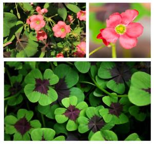 20 Oxalis Iron Cross Garden Bulbs The Good Luck Clover Spring Flower Perennials