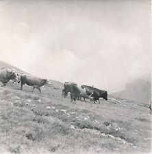 BEUIL c. 1950 - Vaches dans les Alpages  Alpes-Maritimes - DIV8688