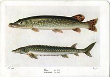 Beautiful Pike & Sturgeon Fish Book Print / Plate on Paper. 85+ years old
